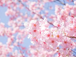 【4月限定】桜ディナー